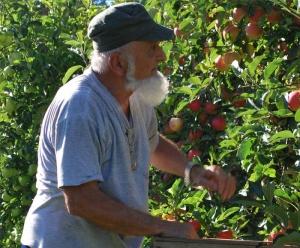 Frère Joseph, cpcr, cueillette des pommes du verger